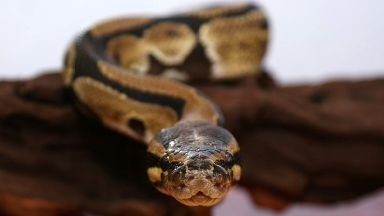 Missing: Royal python vanishes in Aberdeen (file pic).