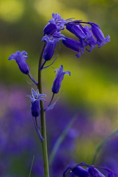 The flowers are an iconic blue-purple.