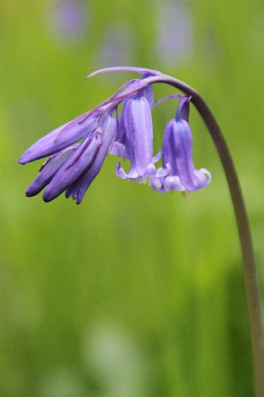 Bluebells have a remarkable scent.