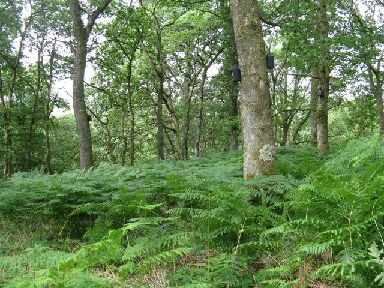 Carstramon Wood is also famous for its ferns.