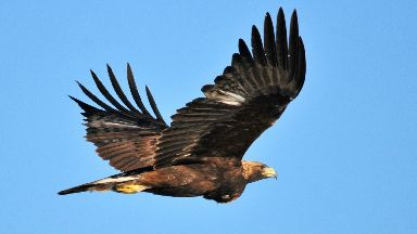 Golden eagle: The 12th to go missing in seven years.