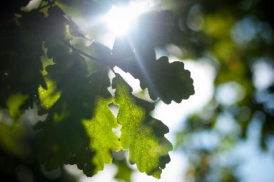 Native: The Beech tree is now considered a native species.