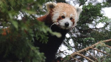 Escaped: A red panda went for a tour of the zoo (file pic).