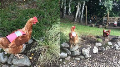 Safety first: Some hens from Blairgowrie B&B like to wander.