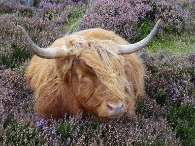 A Highland cow stops for a snooze in a bed of heather in Arrina.