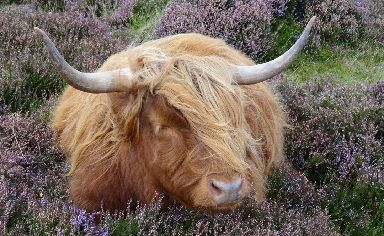 Snooze: A HIghland cow stops by the roadside among the heather.