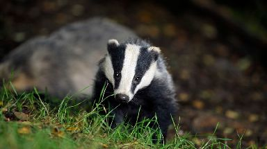 Badger: Animal may be lost and is 'very angry'.