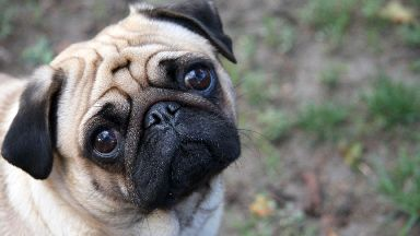 PugFest: Scotland's first pug festival is coming to West Lothian.