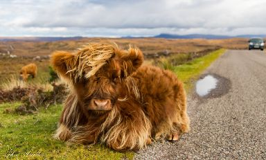 Having a moo-ment by the roadside.