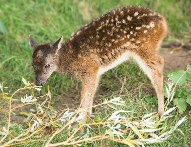 The Visayan spotted deer is endangered.