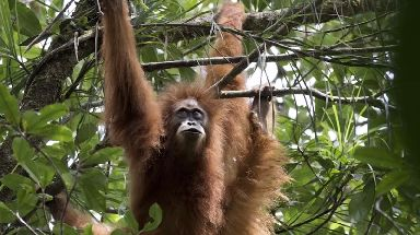 Tapanuli orangutans are the most endangered of all the great apes.