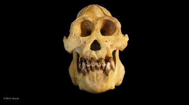 Tapanuli orangutans were found to have smaller skulls than other orangutans.