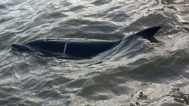 The dolphin was spotted several times in the Thames throughout London.