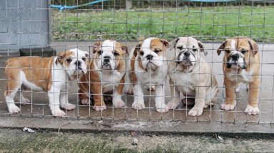 English bulldogs are among the desirable breeds involved.