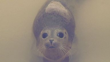 The Scottish SPCA says it costs around £500 to treat and release each seal.