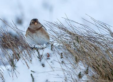 Snow buntings are large buntings, with striking `snowy' plumages.