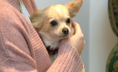 Eight resident Chihuahuas will be on hand to offer cuddles to customers.