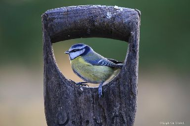 The acrobatic and cheeky blue tit.