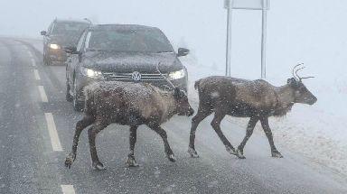 Reindeer Crossing: Traffic stops in the Highlands.