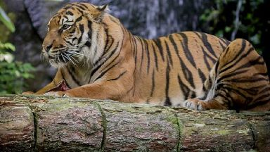 Tiger: The Sumatran species are classed as critically endangered.