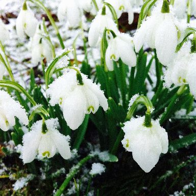 Snowdrops are hardy flowers, like this snow-covered cluster in Straloch near Newmachar, Aberdeenshire.