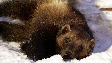 A wolverine at the Highland wildlife park