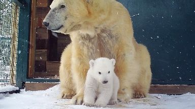 Newborn: Cub with mother at Highland Wildlife Park.