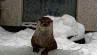 Grutness: Otter is being cared for by Scottish SPCA.