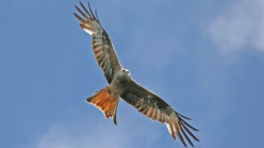 Red Kite: Found to be poisoned.