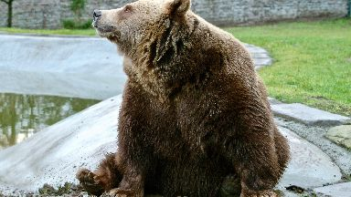 Star: The brown bear had been a feature in the park for 30 years.