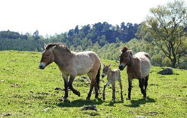 True wild horses.