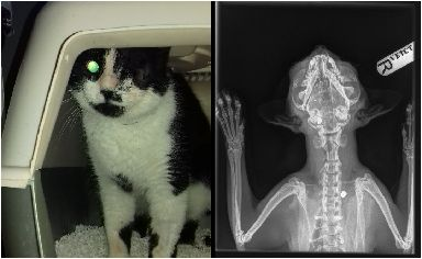 An x-ray showed where Oreo has been shot.