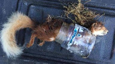 Red squirrel: Found next to A939.