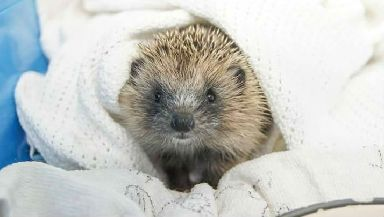 Baby hedgehog similar to one on runway.