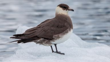 Arctic skuas: Found in Orkney, Shetland and Handa.