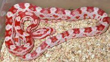 Snake: Reptiles are considered to make good pets.