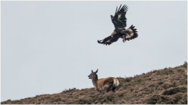 Escape: The red deer tried to outrun the golden eagle.