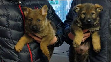 Adorable: The pups will be trained to catch criminals.