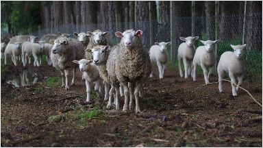 Sheep: Around 80 of the animals have been stolen.