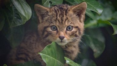 Wildcat: Captives could be key to saving the species.