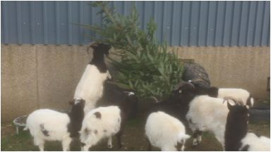 Goats: Love eating Christmas trees.