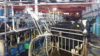 Debate: A happy, healthy cow produces better milk.