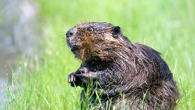 The beaver endured 'significant unnecessary suffering'.