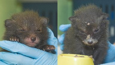 Appeal: Orphaned fox cubs.