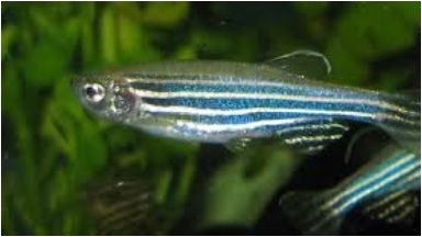 Zebrafish: Could be key to treatment.