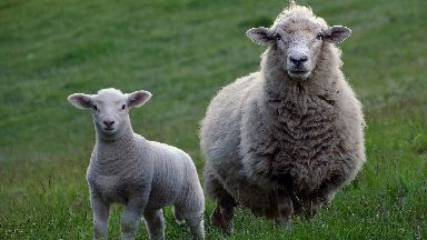 Sheep-worrying: The attack happened in Midlothian.