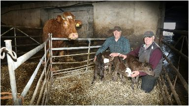 Shock: The four healthy calves were born to an aging cow.