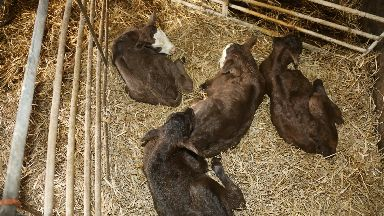 The cow's four calves are healthy and well.