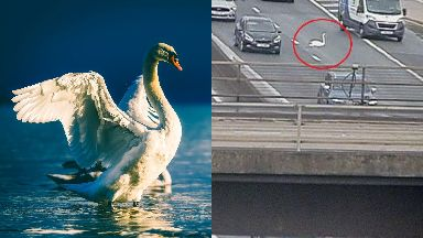 Rescued: The bird was safely removed from the motorway.