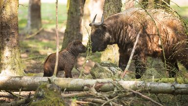 Highland Wildlife Park: Cast your vote to name the newborn calves.